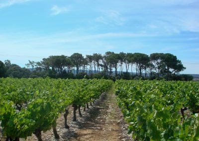 Pine grove in the vineyards of the Pierrefont estate (34)