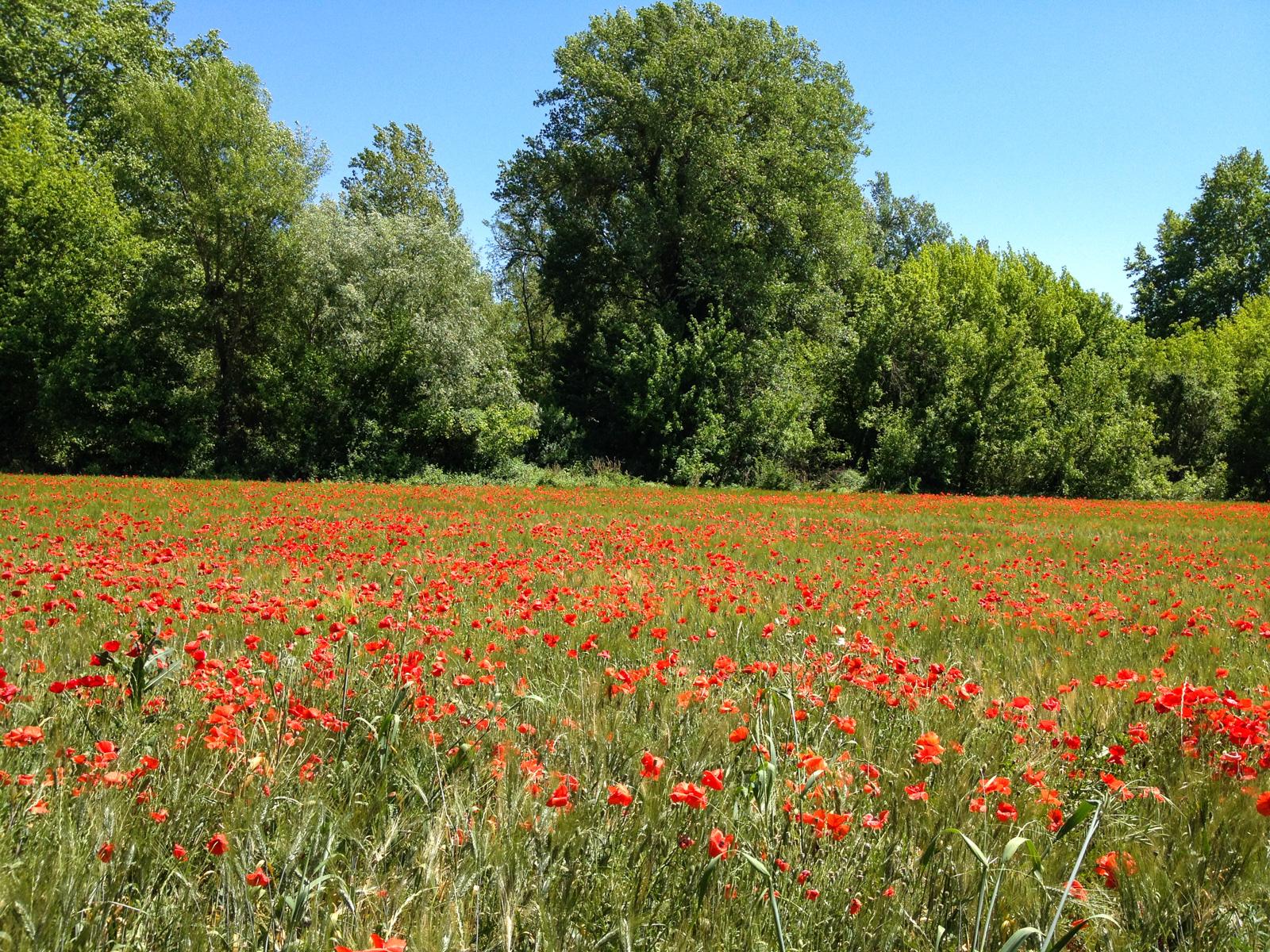 Poppy field on the edge of Hérault